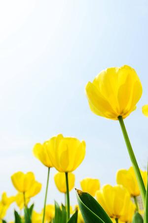 campo de flores: Hermoso tulip�n