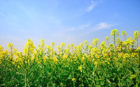 Rape field, canola crops on blue sky Stock Photo