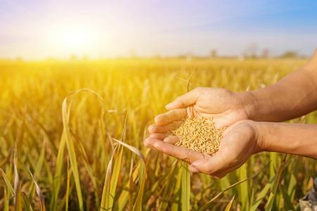 De rijstvelden onder de zon