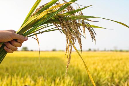 The rice fields under the sun