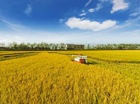 combineer oogsten rijpe rijst in het veld