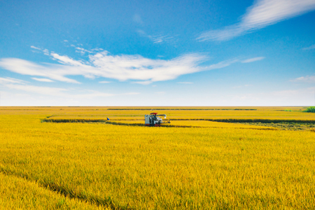 Combine harvests ripe rice in the field