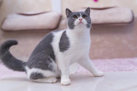 cat lico Stock Photo