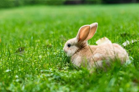 lapin: rabbit