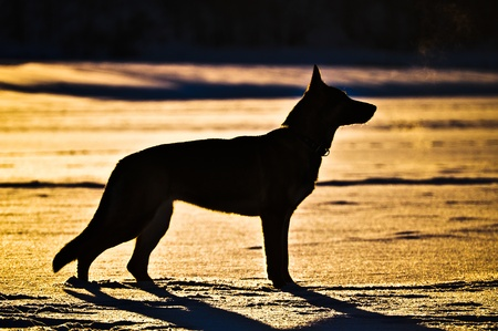 german shepherd at sunset photo