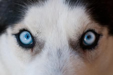 surprised dog: husky blue eyes