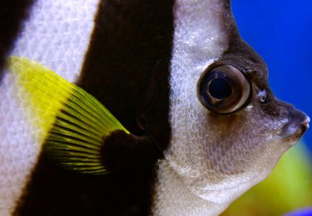 chaetodontidae: Schooling bannerfish (Heniochus diphreutes) sometimes reffered as angelfish closeup.