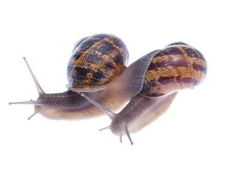 Two racing snails isolated on white background. Stock Photo - 19756587
