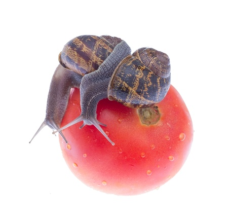 Two snails eating tomato isolated on white background. photo