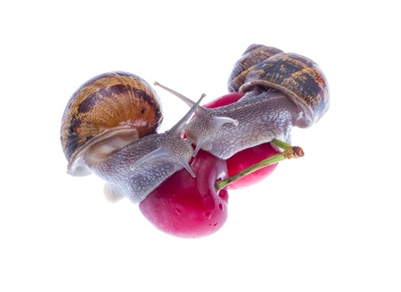 Two snails eating red cherry isolated on white background. photo