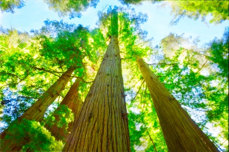 redwood: Sunny day in redwood grove,  north California