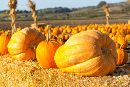 Pumpkin patch ready for annual festival in Half Moon Bay, California.  photo