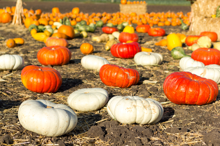 half and half: Pumpkin patch ready for annual festival in Half Moon Bay, California.