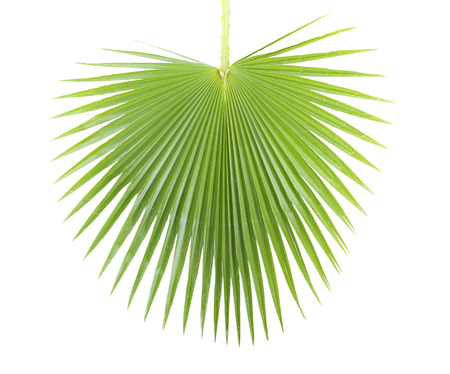 green background: Green palm leaf isolated on white background .