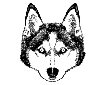 Husky Face  Black And White  Vector Drawing  Isolated