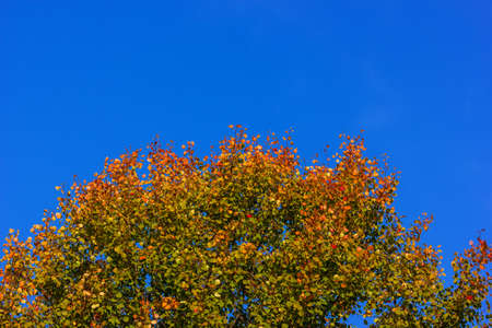 Colorful tree in autumn on a sunny day with blue sky