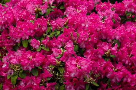 garden background with azalea photo