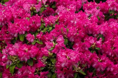 garden background with azalea
