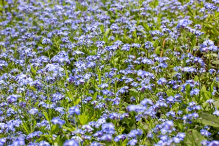 a meadow with blue flowers Stock Photo