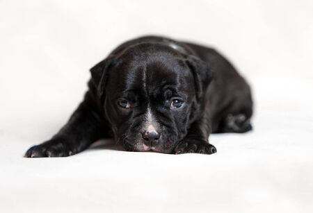 Little Puppies American Bully Stock Photo