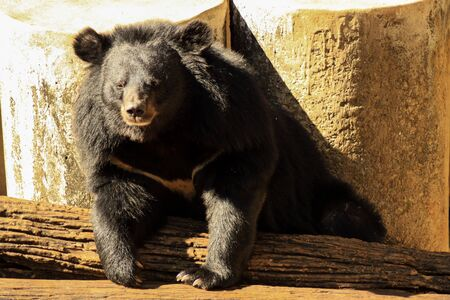 oso negro: oso negro