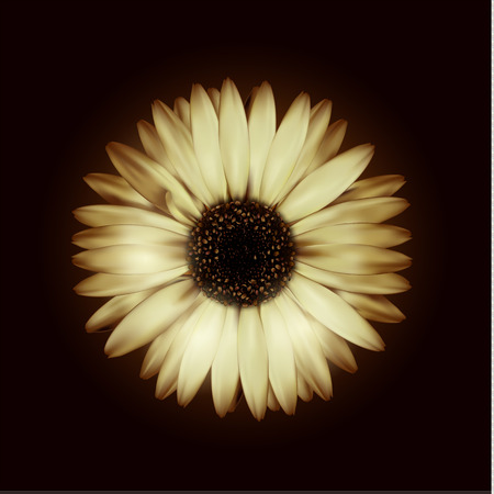 Vector beige realistic gerbera on a black background Ilustração