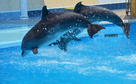 two gray dolphins jump out of the water with a lot of splashes from the pool