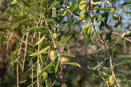 Olives In The argentina field.