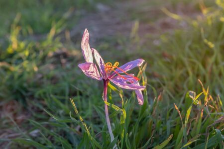 Saffron wild with sunlight. Crocus sativus