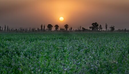 Sunset Over The Field Of The Young Alfalfa In Springtime
