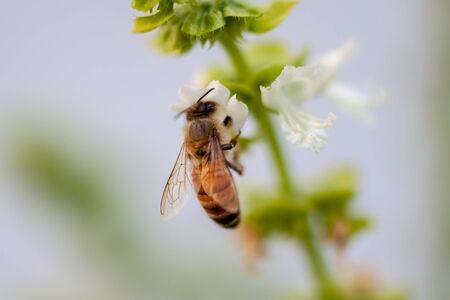 bee or honeybee on white flower of common daisy Stockfoto