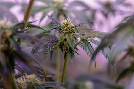 macro photo of cannabi flower Imagens