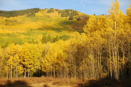 quaking aspen: Kenosha Pass