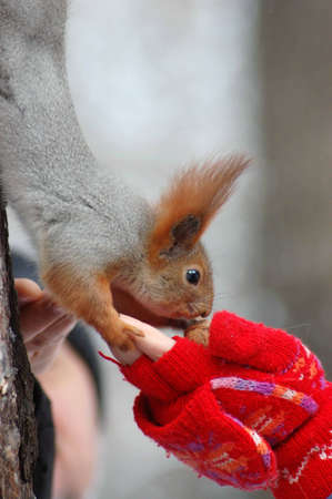 Squirrel eating a nut on the hand photo