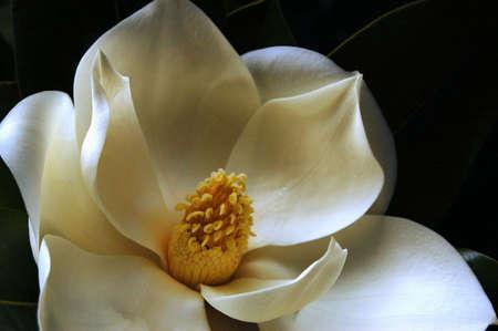 Magnolia Grandiflora  Foto de archivo