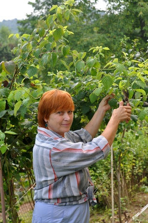 Gardening  senior woman cutting raspberries at spring