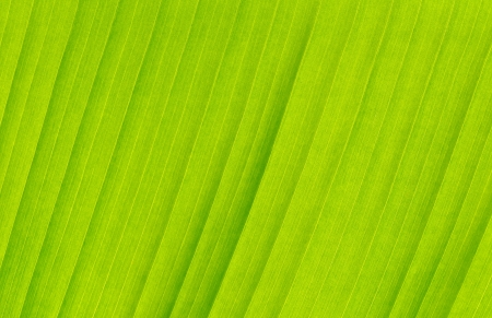 Banana leaf as a background