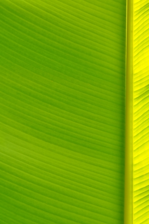Banana leaf close up  green and yellow photo
