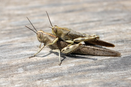 The pairing of the migratory locust on the gray woods Stock Photo - 17349994