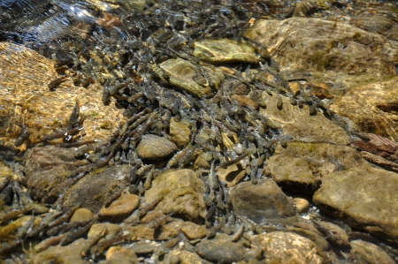 A flock of young Caucasian salmon fish in the river shallows, Sochi, Russia  Found only in the Black and Azov seas, is on the verge of extinction  photo
