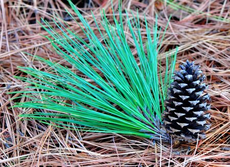 libani: Pinecone lies on the needles next to the green pine branches