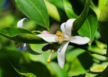 Elegant lemon tree flower at the branch