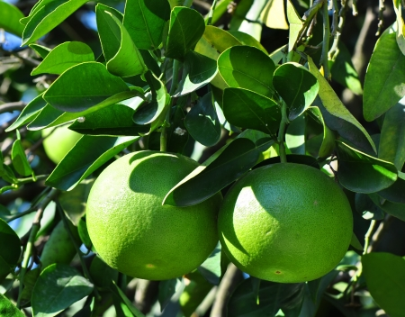 hardy: Two grapefruit citrus ripen in the garden