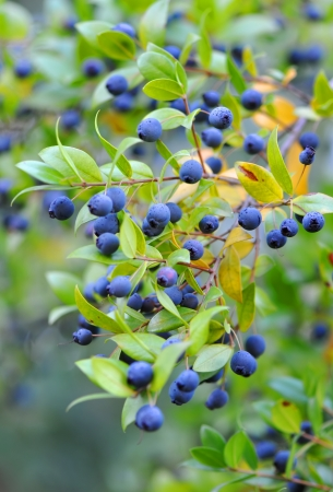 Myrtle berries on branches Stock Photo - 17350068