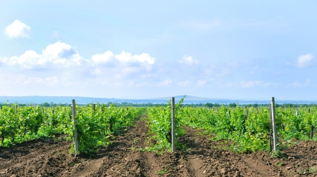 Young tamanian vineyards in Russia