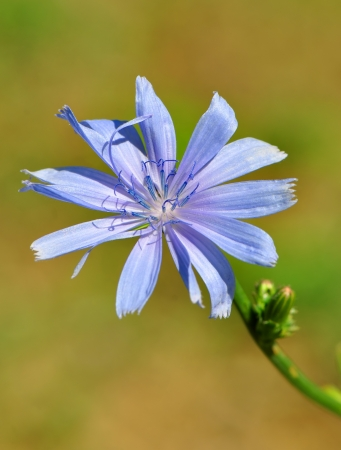 chicory coffee: Beautiful flower of chicory on the natural green background