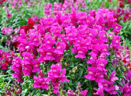 Blooming snapdragon flowers in a summer garden Stock Photo