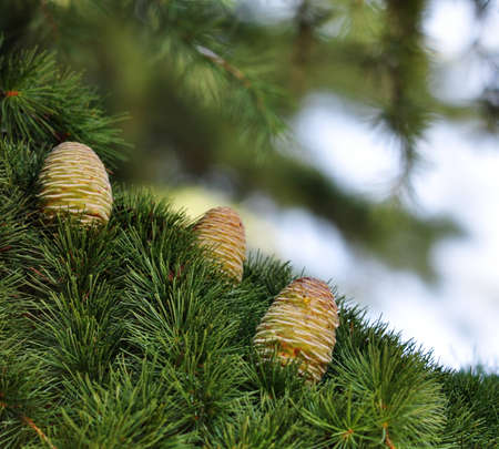 Three Himalayan cedar cones on a branch photo