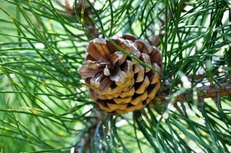 oleoresin: Pine cone