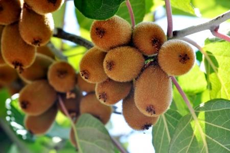 kiwifruit: Abundant harvest of kiwifruit on a branch